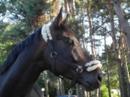 Hübscher schwarzbrauner Wallach abzugeben Beisteller