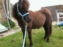 süßer kleiner Shetti Pony hengst