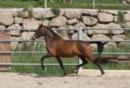 P.R.E. Pferde in Deutschland