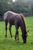 Red roan Quarter Horse Stutfohlen
