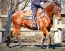 Quarter Horse Wallach bay