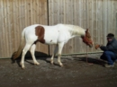 Paint horse homozygot hengst 3 Jahre