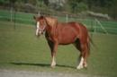 bedingt reitbares Beistellpferd sucht neues Zuhause