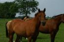 Pony Stute im Endmaß