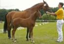 Hengst-Fohlen-kaufen auf Horse Base