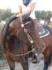 Talentierte Quarter Horse Stute,2007