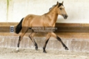 Gorgeous Buckskin Lusitano Colt for Sale in Portugal
