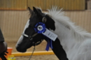 smoky black tobiano homozygoter Painthengst