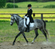 Polish angloarabian gelding for dressage