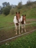 Verkaufe zwei Junge Paint Horse Hengste