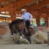 Außerordentlich schickes Quarter Horse Stutfohlen