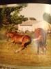Sehr gutes American Quater Horse Fohlen zu verkaufen