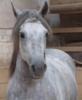 Arravani Paso Peruano Isländer-Mix Pony zu verkaufen