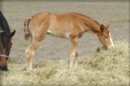 Pleasure Show Filly French Kiss