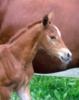 Quarter Horse Jährling - DOC TARI Enkel