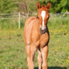 Quarter-Horse-Stutfohlen, red dun, Allrounder