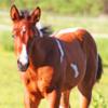 Paint-Horse Fohlen, Stute, Braunschecke