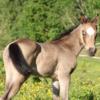 Stutfohlen, Ducky, Quarter Horse, Allrounder