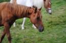 Paint-Horse Stute ein Jahr