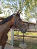 Sensibles Dressurpferd sucht einfühlsame Reiterin