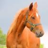 Quarter-Horse, Stute, lieb besonnen