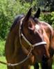 Quarter Horse Wallach - ready to show