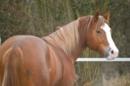 Your next Reining Champion! 2011 Hengst aus I AM SHOTGUNNER!
