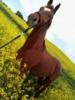Wunderschöner unverbrauchter Fuchswallach sucht....