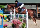 Beautiful darkchestnut gelding, with showjumping talent