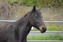 Connemara Zuchtstute Freizeitpferd zu verkaufen