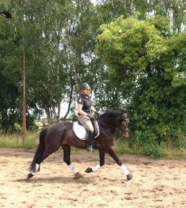 Qualitätsvolles Dressurpferd, Hengst, 4 jährig