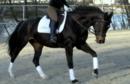 Luxus schwarze Stute in der Dressur Sport und Zucht