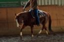 großartiger Quarter Horse Wallach