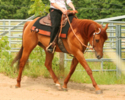 Zippo Docs Robin, Quarter-Horse-Hengst