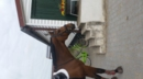 Freitzeit oder Umsteigerpferd zu verkaufen!