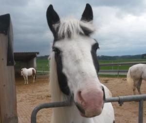 tinker, jung, wallach, pferd, freizeit, western, bodenarbeit, irish cob, 5 jahre, dressur, schecke, nervenstark, lieb