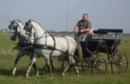 Lipizzaner Fahrpferde aus Ungarn