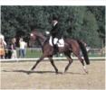 Brauner 11jähriger wallach top Vielseitigkeits Pferd mehrfach platziert!!!!