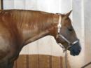 5- jährige Quarter Horse Stute mit tollem Exterieuer